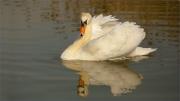 swan-reflection by jim-bullock