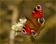 Collecting-nectar-from-may-blossom by Jim Bullock