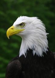 bald-eagle by john-parsloe