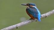 kingfisher-gary-henderson