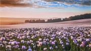 opium-fields-by-anna-stowe