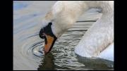 swan-dipping-jim-bullock