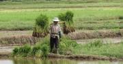 working-in-rice-fields-by-rebecca-clifforde