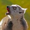 Howling-lemur by John Parsloe