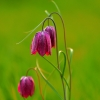 fritillaria-at-sunset-paddy-bohan