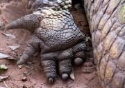 Crocodile Foot by Rebecca Clifforde