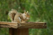 Squirrel at Coate Water by Richard Salt