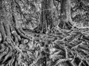 Roots & a Ribbon by Robert Albright FRPS