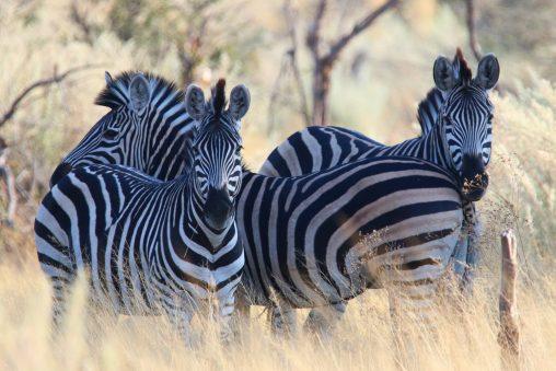 Dazzle Of Zebras by Neil Hayward